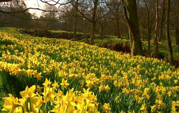 Farndale Daffodil Field